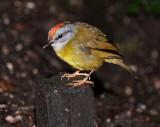 IMG_9952.jpg  Russet-crowned Warbler