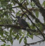 IMG_9959.jpg  Ban-tailed Pigeon