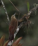 IMG_9974.jpg  Strong-billed woodcreeper