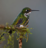 IMG_7933.jpg Booted Rackettail