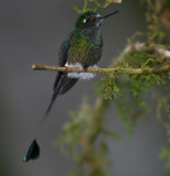 IMG_7991 booted rackettail.jpg
