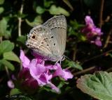 mallow scrub hairstreak