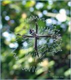 silver argiope spider