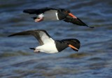 Pied Oystercatcher (1st year, nearest, and adult)