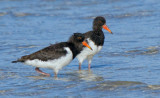 Pied Oystercatcher (near fledged runners)