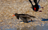 Pied Oystercatcher (territorial issue!)
