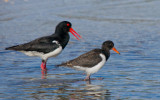 Pied Oystercatcher (adult with young)
