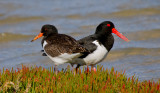 Pied Oystercatcher (adult with fledged juvenile)
