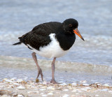 Pied Oystercatcher (just prior to fledging)