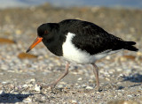 Pied Oystercatcher (just fledged)