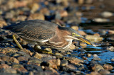 Green Heron fishing, Conomo Point, Essex, MA.jpg