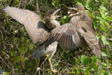 Black-Crowned Night Heron juveniles, Shark Valley, Everglades NP.jpg