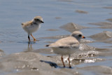 Piping Plover chick and parent 6-17-09