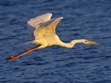 Great White Heron taking off