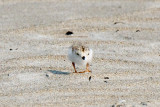 Piping Plover chick and bug! 5-31-10