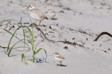 Piping Plover chick and parent 5-21-10