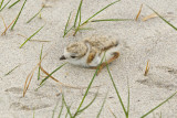 Piping Plover chick hiding 6-3-10