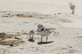 Piping Plover parent and chick 5-25-10 a