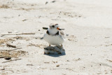 Piping Plover parent and chick 5-25-10 d