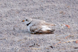 Piping Plover parent covering chicks 6-4-10