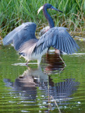 Louisiana Heron - Naples Water Reclamation