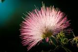 Mimosa Dahling