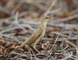 2. Great Reed Warbler - Acrocephalus arundinaceus