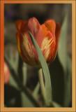 Fiesta Tulip