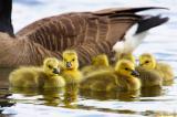 Under Moms Wing.jpg