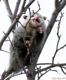 Possum in a Tree 2