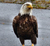 Eagle standing around