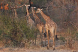 Thornycrofts Giraffe