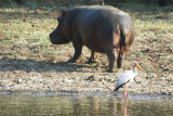 Hippo and Yellow-billed Stork
