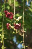 Flower of sausage tree