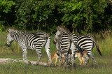 Zebras and Impalas