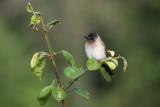 Pycnonotus tricolor