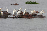 Hippos and Cattle Egret