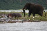 Elephant chasing hippo