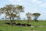 Buffaloes