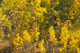 Autumn Aspen _DSC9895.jpg