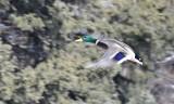 Flying Duck Idaho Falls by Snake River _DSC1812.jpg