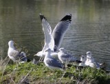 The Private Lives of Seagulls _DSC7194.JPG