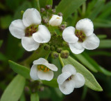 Tiny White Flowers at Home P1030720.jpg