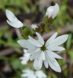 Prairie Star or a Relative P1030816.jpg