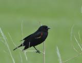 red-winged blackbird _DSC8648.JPG
