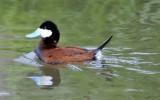 Ruddy Duck _DSC8708.JPG
