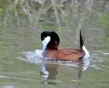 Ruddy Duck blowing bubbles in courtship _DSC8692.JPG