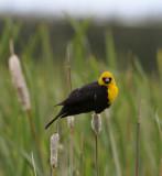 yellow-headed blackbird looking at camera _DSC8769.JPG