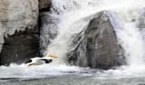 Pelican flying across waterfall at Snake River in American Falls Idaho _DSC9032.JPG