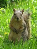 ISU fox squirrel IMG_1719.JPG